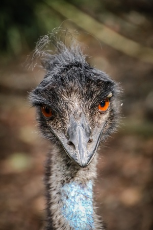 eye: Emu Stock Photo