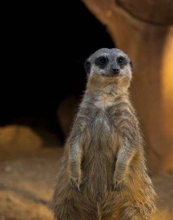Meerkat standing upright looking for predators.  Zdjęcie Seryjne