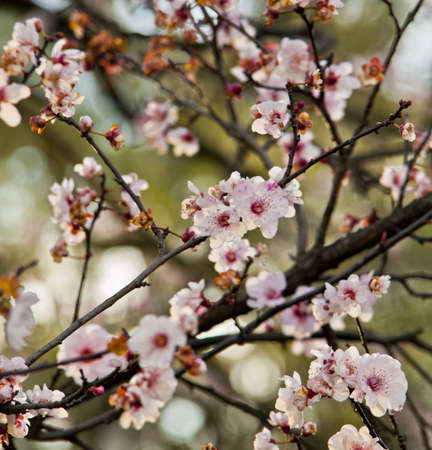 Blooming Spring cherry blossom flowers.