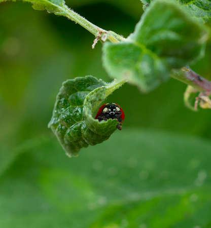 Red Ladybug hiding in curved leaf Zdjęcie Seryjne