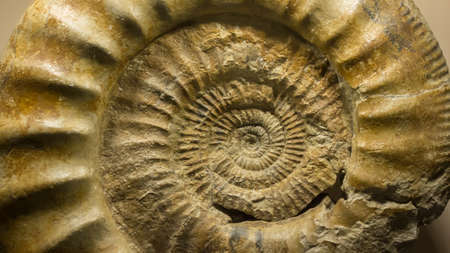 Fossil of ammonite. Macro shot of an ammonite fossil, possessing the typically ribbed spiral-form shell Zdjęcie Seryjne