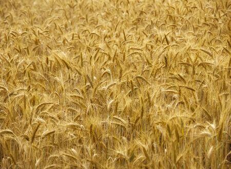 Ripe barley plantation ready for harvest. Barley grain is used for flour, barley bread, barley beer, some whiskeys, some vodkas, and animal fodder Zdjęcie Seryjne