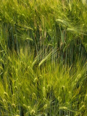 Growing barley plantation still green. Barley grain is used for flour, barley bread, barley beer, some whiskeys, some vodkas, and animal fodder