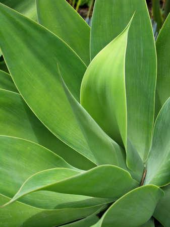 agave: Agave