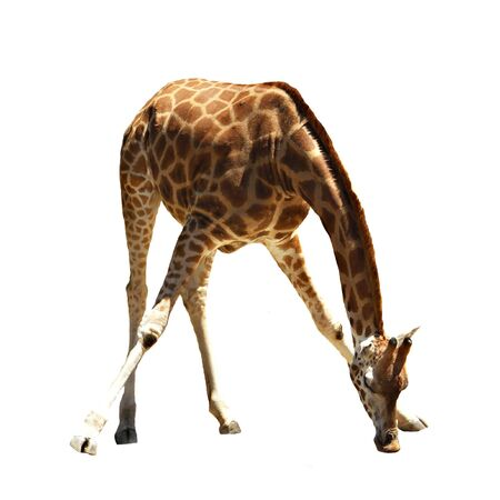 Giraffe bending over and drinking - isolated on white
