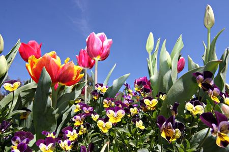 Colorful tulips at Canberra's Floriade festival Stock Photo - 3800362