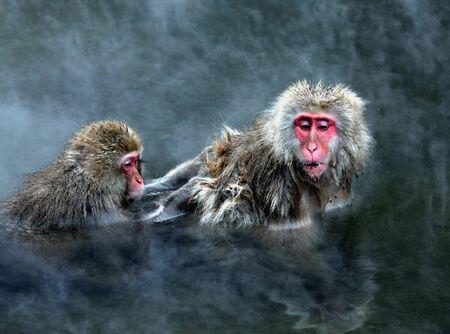 macaque: Monkey de neige � Jigokudani pr�s de Nagano, au Japon