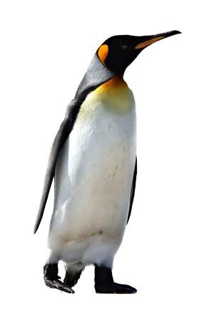 king penguins: King Penguins at Volunteer Point on the Falkland Islands