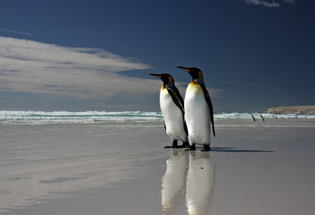 King Penguins at Volunteer Point on the Falkland Islands Stock Photo - 7095898