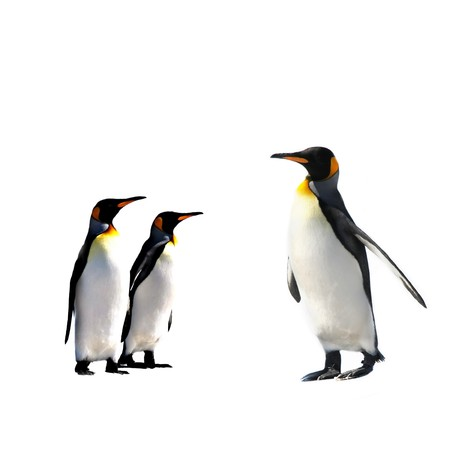 Two King Penguins at Volunteer Point on the Falkland Islands photo