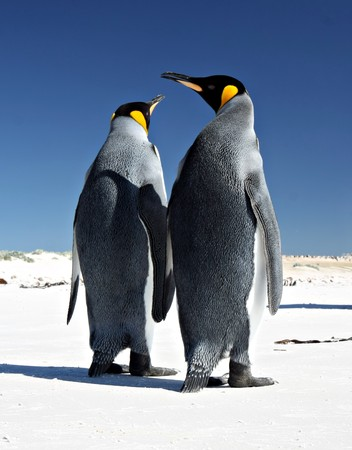 King Penguins at Volunteer Point on the Falkland Islands Stock Photo - 7095900