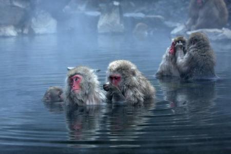 resortes: Mono de nieve en calent�ndose cerca de Nagano, Jap�n