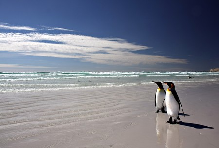 penguins on beach: King Penguins at Volunteer Point on the Falkland Islands