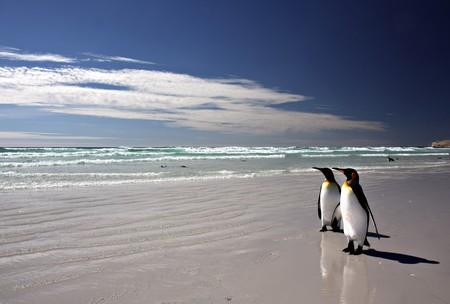 emperor: King Penguins at Volunteer Point on the Falkland Islands