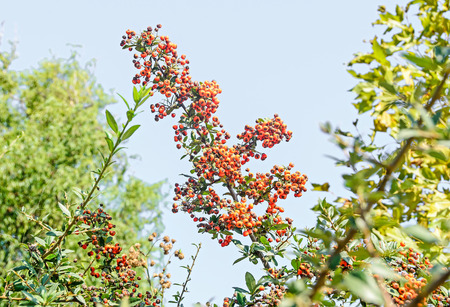 rosales: Pyracantha coccinea, the scarlet firethorn shrub, red orange berries.