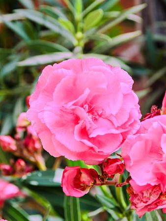 Pink flowers of nerium oleander evergreen shrub family apocynaceae pink flowers of nerium oleander evergreen shrub family apocynaceae stock photo 70212808 mightylinksfo