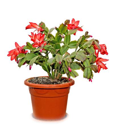 christmas cactus: Red Schlumbergera truncata flowers in flowerpot, Christmas and Thanksgiving cactus, Craciunel.