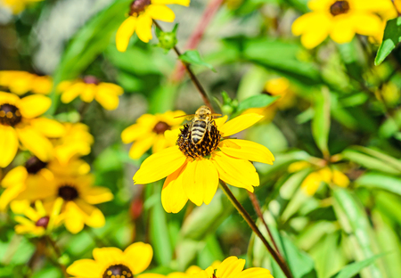 susan: Bee sitting on Rudbeckia triloba yellow flower, browneyed Susan, close up.