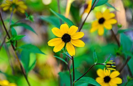 susan: Rudbeckia triloba yellow flowers (browneyed Susan, brown-eyed Susan, thin-leaved coneflower, three-leaved coneflower)