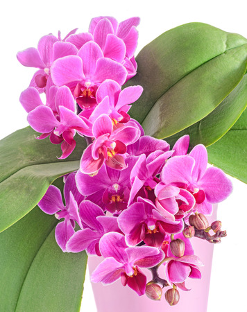 Purple, pink orchids flowers, Orchidaceae, Phalaenopsis known as the Moth Orchid, abbreviated Phal. White background