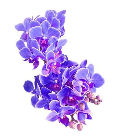 Blue, mauve orchids flowers, macro, close up, Orchidaceae, Phalaenopsis known as the Moth Orchid, abbreviated Phal. White background Stock Photo