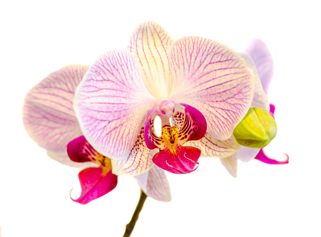 phal: Pink orchid flowers with red stripes, Orchidaceae, Phalaenopsis known as the Moth Orchid, abbreviated Phal. White background.