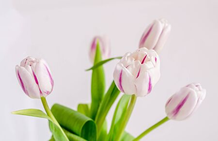 Light pink with stripes tulips flowers, bouquet, bunch, isolated on white background.