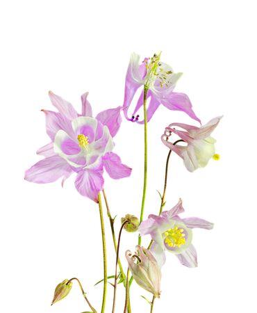 columbine: Pink Aquilegia (columbine) flabellata, common name Fan Columbine, Dwarf Columbine, Caldarusa, family Ranunculaceae. Isolated, close up