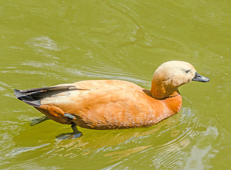 Brown wild duck on water, dark beak, red feathers, close up, portrait, isolated Stock Photo