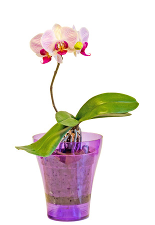 phal: Pink orchid flowers in a mauve vase, Orchidaceae, Phalaenopsis known as the Moth Orchid, abbreviated Phal. White background.