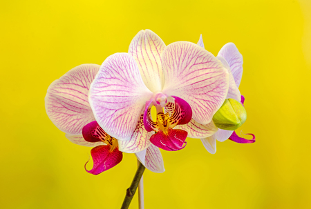 phal: Pink orchid flowers with red stripes, Orchidaceae, Phalaenopsis known as the Moth Orchid, abbreviated Phal. Yellow background.