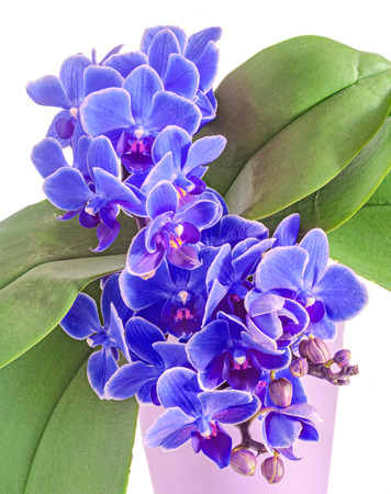 phal: Blue orchids flowers, Orchidaceae, Phalaenopsis known as the Moth Orchid, abbreviated Phal. White background Stock Photo