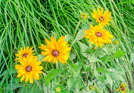 Yellow daisy flowers, green grass, gerberas  garden, close up.