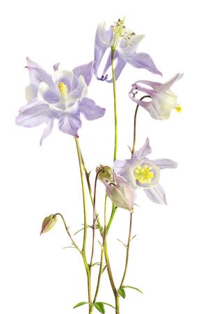 Aquilegia (columbine) flabellata, common name Fan Columbine, Dwarf Columbine, Caldarusa, family Ranunculaceae. Isolated, close up Stock Photo