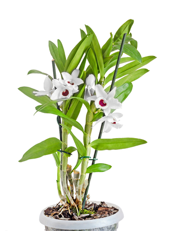 dendrobium: White dendrobium nobile flowers, branch, green leaves, plant, close up, white background Stock Photo