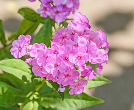 dedo meÑique: Arabis o rockcress flores de color rosa, arbusto verde, de cerca Foto de archivo