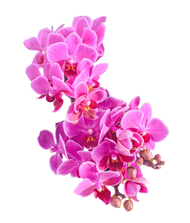 phal: Purple, pink orchids flowers, Orchidaceae, Phalaenopsis known as the Moth Orchid. Isolated on white background. Close up, macro.