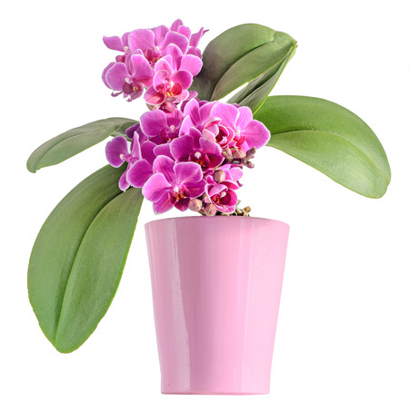 phal: Purple, pink orchids flowers, Orchidaceae, Phalaenopsis known as the Moth Orchid, abbreviated Phal. Pink vase, flowerpot, white background.