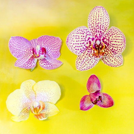 phal: Many types, collection of orchids flowers, purple, white, blue, yellow, pink. Orchidaceae, Phalaenopsis known as the Moth Orchid, abbreviated Phal. Yellow background, isolated.