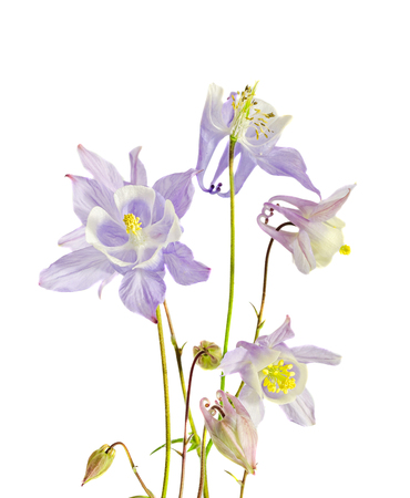mauve: Mauve Aquilegia (columbine) flabellata, common name Fan Columbine, Dwarf Columbine, Caldarusa, family Ranunculaceae. Isolated, close up
