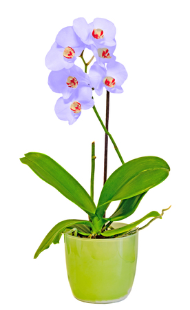 phal: Mauve orchid flowers in a green vase, Orchidaceae, Phalaenopsis known as the Moth Orchid, abbreviated Phal. White background. Stock Photo