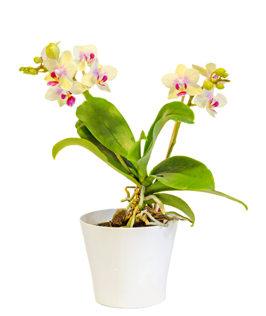 phal: Yellow orchid flowers. red pistils, in a white vase, Orchidaceae, Phalaenopsis known as the Moth Orchid, abbreviated Phal. White background.