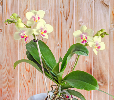 phal: Yellow orchid flowers with red pistils, Orchidaceae, Phalaenopsis known as the Moth Orchid, abbreviated Phal. Wood background.