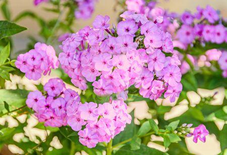 dedo meÑique: Arabis or rockcress pink flowers, green bush, close up