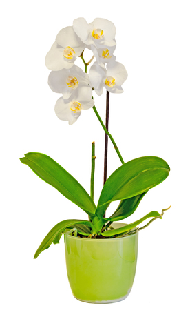 phal: White orchid flowers in a green vase, Orchidaceae, Phalaenopsis known as the Moth Orchid, abbreviated Phal. White background. Stock Photo