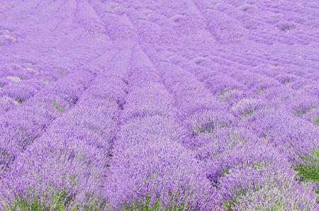 Field of mauve, purple Lavandula angustifolia, lavender, most commonly True Lavender or English lavender, garden lavender, family Lamiaceae.