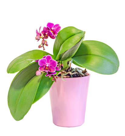 Pink orchid flowers in a pink vase, Orchidaceae, Phalaenopsis known as the Moth Orchid, abbreviated Phal. White background. Stock Photo