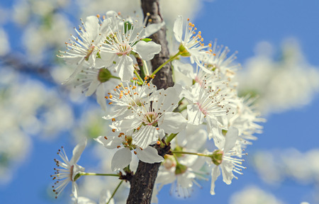 prunus cerasifera: White tree flowers of Prunus cerasifera, blue sky, branches, floral texture. Stock Photo