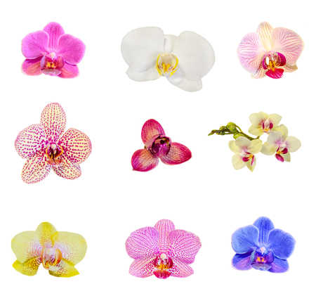 phal: Many types, collection of orchids flowers, purple, white, blue, yellow, pink. Orchidaceae, Phalaenopsis known as the Moth Orchid, abbreviated Phal. White background, isolated.