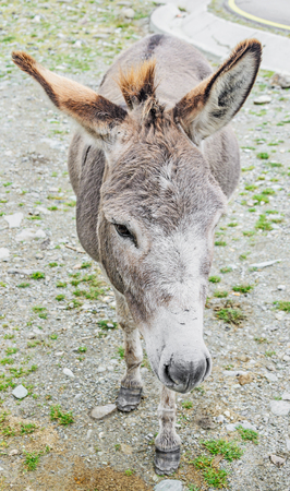 Brown donkey with colored ears, outdoor standing, portrait.